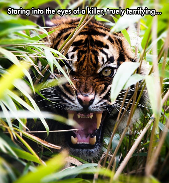 funny-tiger-jungle-staring-eyes-scary